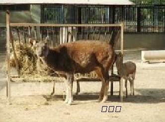 野生动物养殖批发野味藏原羚
