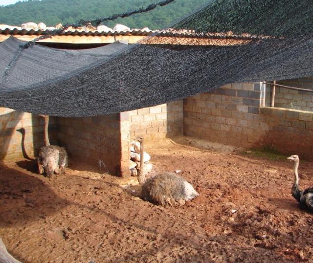 养殖场批发特种养殖野生动物鸵鸟